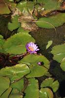Water Lillies (12)
