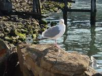 Seaman the Seagull