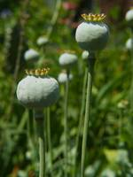 Poppy Butts