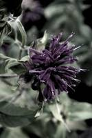 Bee Balm        Antique Edit