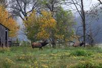 Bull Elk Following Cow Elk