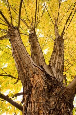 Maple Tree Portrait