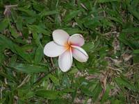 Flower in St. Lucia