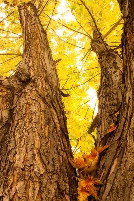 Maple Tree 3