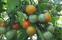 Cherry Tomatoes Ripe Stages