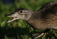 Female Woodduck Chatting