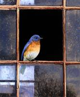 barn window / eastern bluebird