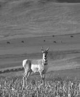 Antelope - Black & White