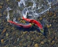 Spawning Sockeye Salmon