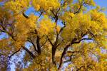 "Old Giant Golden Autumn Cottonwood by James ""BO"" Insogna"