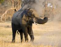 elephant-throwing-dust1a