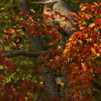 Great Blue Heron in Red Maple by Jim Crotty by Jim Crotty