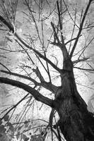 Black and White Autumn Tree
