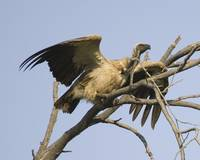 vulture-about-to-fly