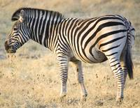 zebra-eating2a