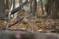 Resting Whitetail Buck - 2 by Daniel Teetor