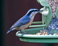 Red- Breasted Nuthatch