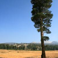 Tuolumne Tree by Eileen Ringwald