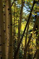 Walking in the Shade of the Autumn Aspen Grove 611