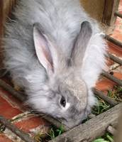 Beautifully soft angora rabbit