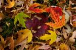 """Colorful Autumn Leaves by James """"BO"""" Insogna"""