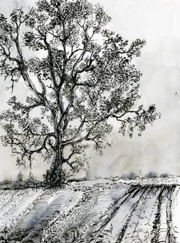 Poplar Tree In Autumn Ink Drawing By Ginette By Ginette