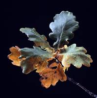 Autumnal Colours - Oak Leaves