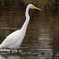 White Heron by Laura Mountainspring