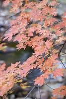 Red Dragon (Cave Creek Maple Leaves) by Michael Stephen Wills