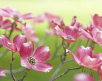 Hope (Pink and White Dogwood Flowers)