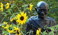 Sunflower Gandhi