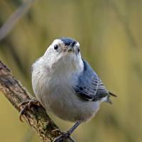 White Breasted Nuthatch Front View by Laura Mountainspring
