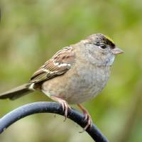 Golden Crowned Sparrow, a New Season III by Laura Mountainspring