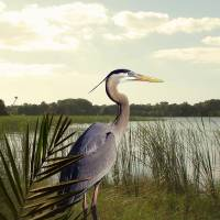 Great Blue Heron in the Bulrushes by I.M. Spadecaller