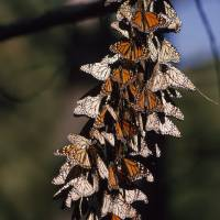 Butterfly Branch 1 by National Geographic