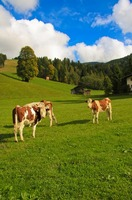Austrian cows in an Austrian meadow