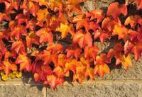 Close-up of Red Ivy Leaves on Wall in Autumn
