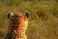 Leopard - Backview