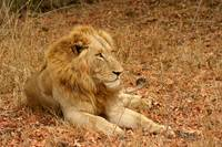 Male LIon - 3-4yrs GC male