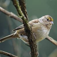 Golden Crowned Sparrow, Immature by Laura Mountainspring
