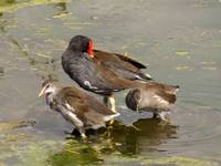 Red Billed Ducks
