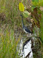 Tricolored Egret in the Marshes