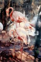 Flamingos in Filtered Sunlight