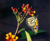 Milkweed Hosting a Monarch Butterfly