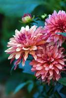 dahlia days are numbered....