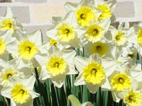 Garden Daffodils Floral art prints Spring Flowers