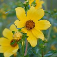 the Flower - Bidens mitis