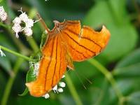 Butterfly from Yucatan