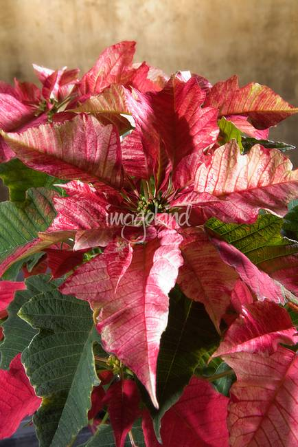 poinsettia leaves