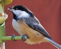 Black-capped Chickadee at the Bird Feeder